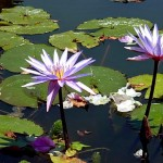 Water Lillies at the Botanical Garden