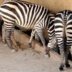Zebras at the Vallarta Zoo